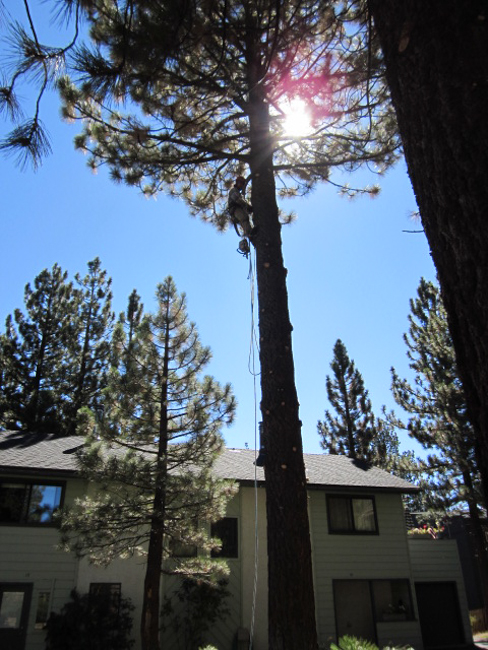 Mammoth Lakes Tree Service-Skyline Arborist