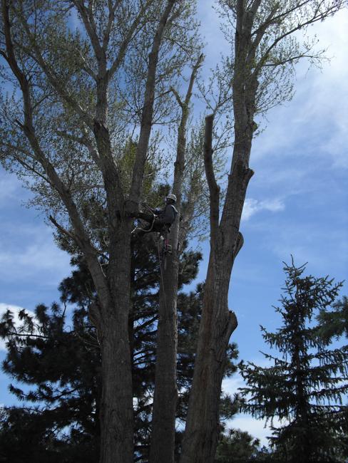 Mammoth Tree Service - Skyline Arborist - Tree Pruning