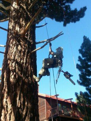 Spikeless Pruning-Mammoth Lakes Tree Service-Skyline Arborist