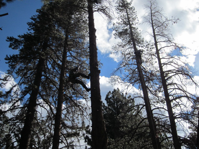 Spikeless Tree Pruning - Skyline Arborist - Mammoth Lakes Tree Service