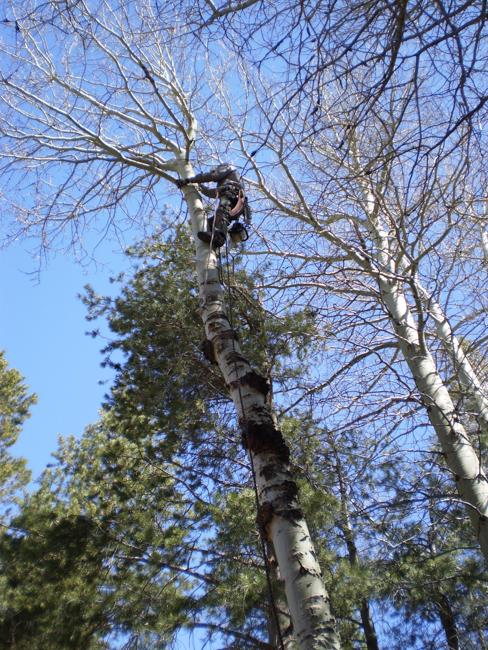 Tree Pruning - Mammoth Lakes Tree Service - Skyline Arborist