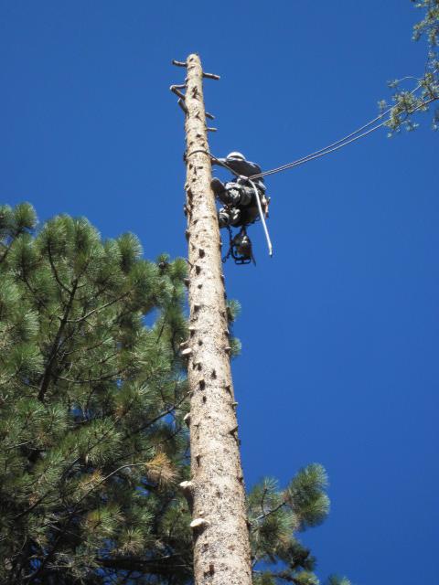 Tree Trimming - Mammoth Lakes Tree Service - Skyline Arborist