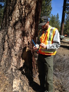 Tree Core Assessment in mammoth lakes