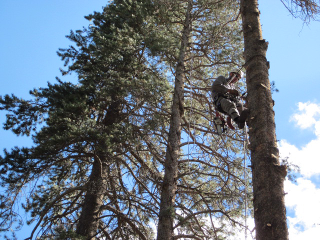 Tree Climbing - Mammoth Lakes Tree Service - Skyline Arborist